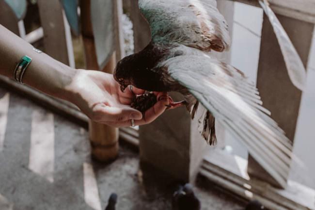 Eine Taube frisst aus einer Hand