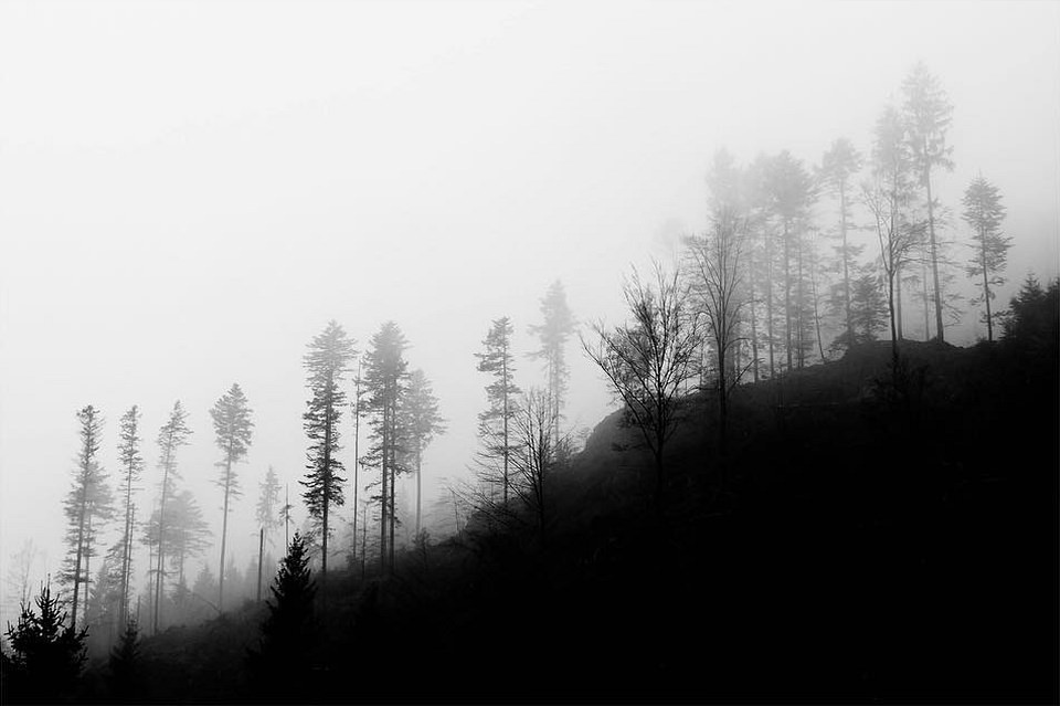 Kahler Tannenwald auf einer Böschung im Nebel.