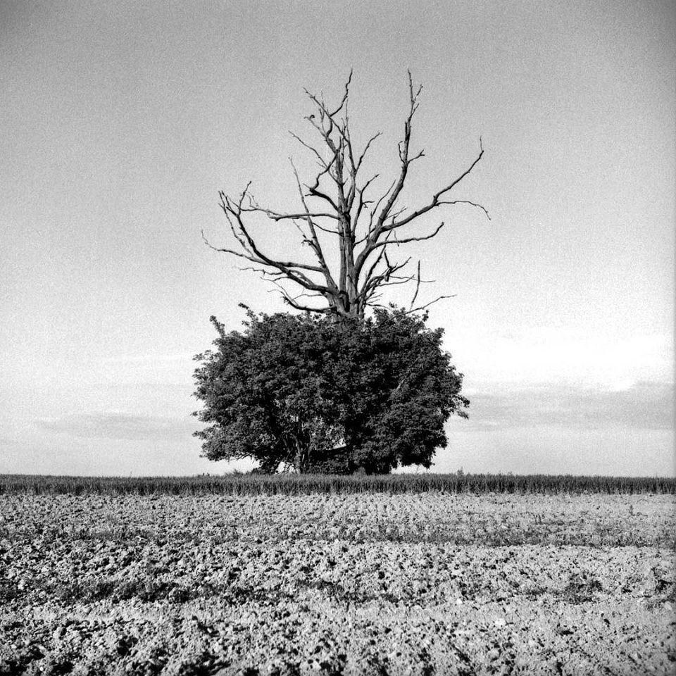 Baum auf einem kahlen Feld: Unten dicht begrünt, oben ragen hoch kahle Äste heraus.