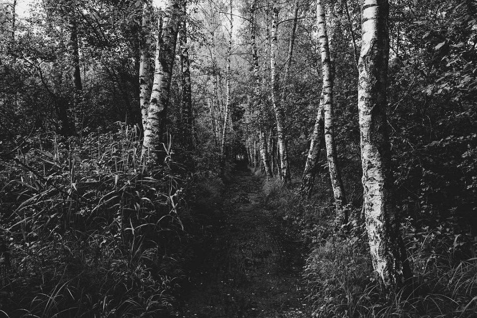 Weg in einem Birkenwald, an den Seiten hoch zugewachsen.