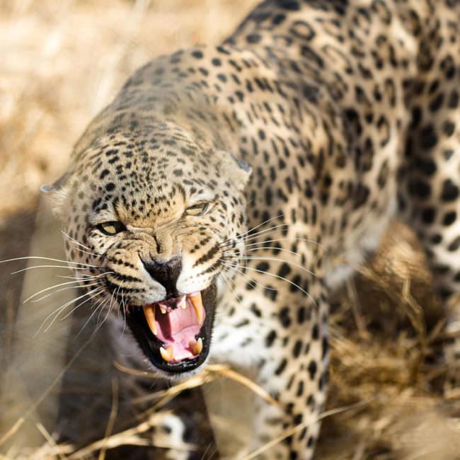 Ein fauchender Leopard