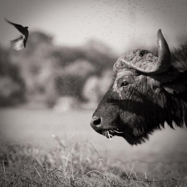 Büffel mit Vogel