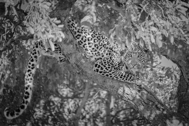 Ein Leopard im Baum