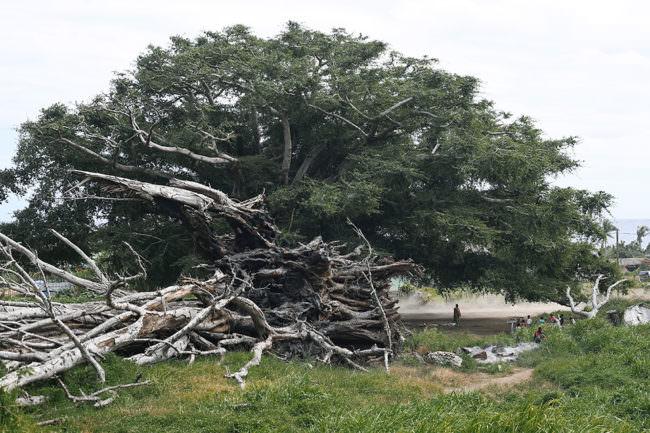 Ein riesiger verwurzelter Baum