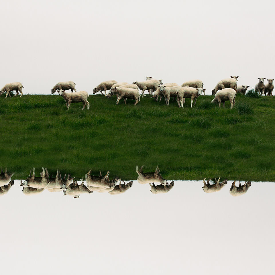 Gespiegelte Schafsherde