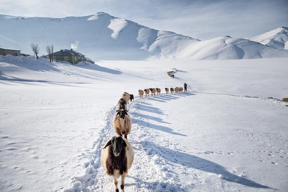 Schafe auf einem Pfad durch den Schnee