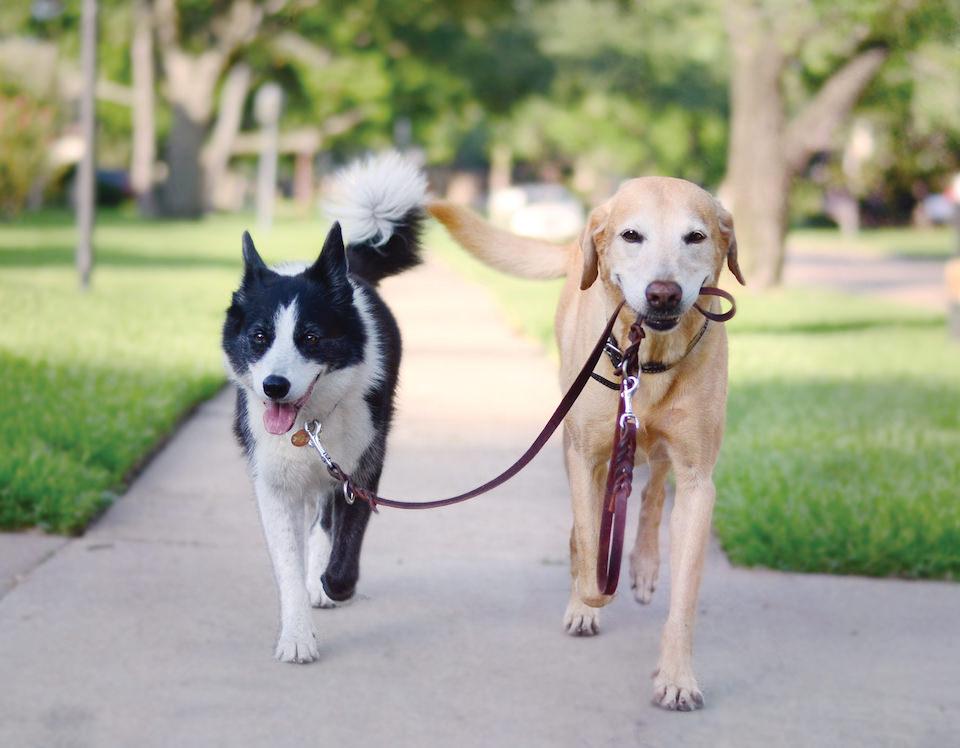 Ein Hund, der von einem anderen Hund an einer Leine geführt wird.