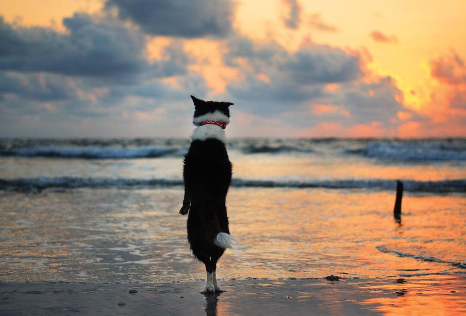Ein Hund, der bei Sonnenuntergang am Strand auf den Hinterpfoten steht und über das Meer blickt.