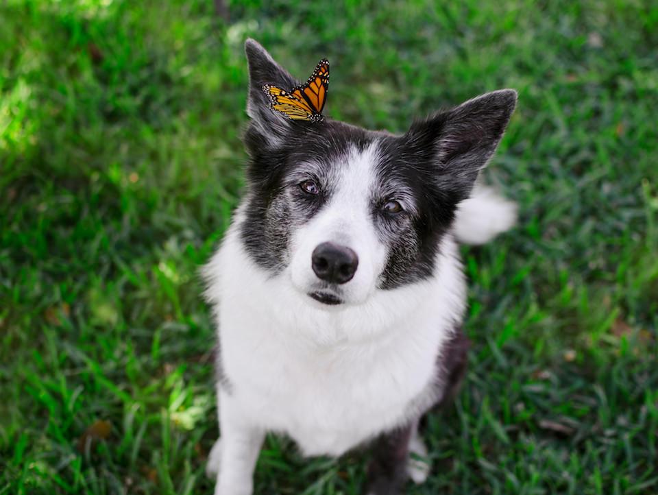 Ein Hund, der einen Schmetterling auf dem rechten Ohr hat.