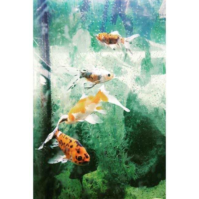 Wie gemalt ein Bild von Goldfischen in grünem Wasser.