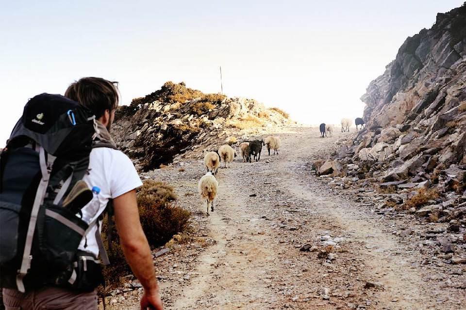 Ein mann der einen Weg entlang läuft, auf dem Schafe stehen.