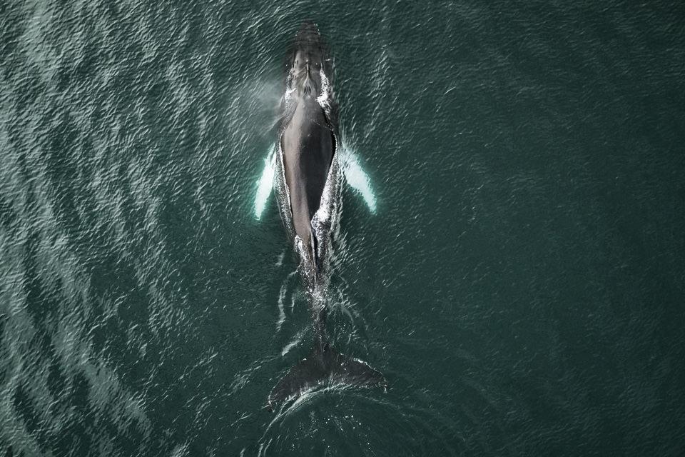 Drohnenaufnahme eines Wahls im Meer.