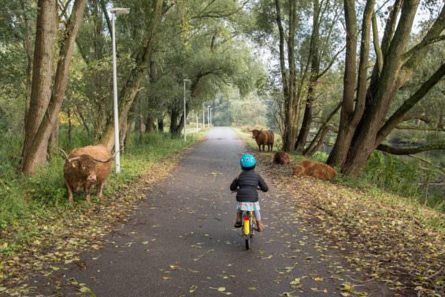 Ein Kind auf einem Fahrrad fährt zwischen Rindern
