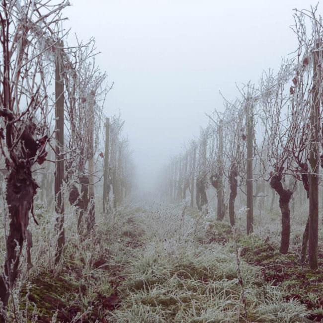 Nebel zwischen Rebstöcken