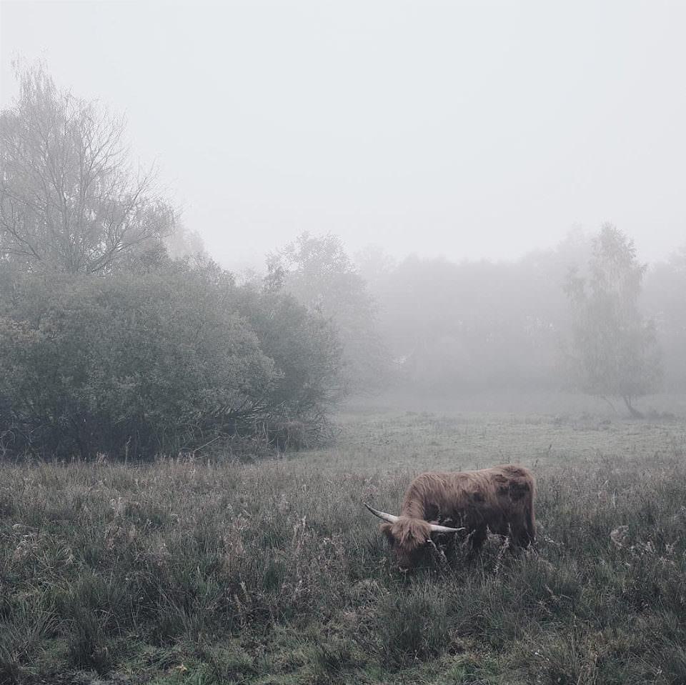 Nebel auf einer Wiese mit Büffel