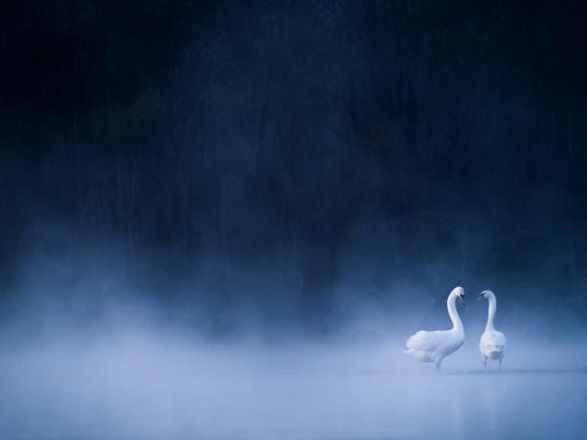 Zwei Schwäne im Nebel