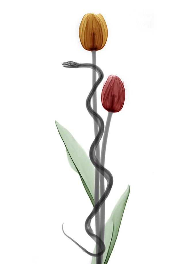 Eine Schlange windet sich um zwei Tulpen.