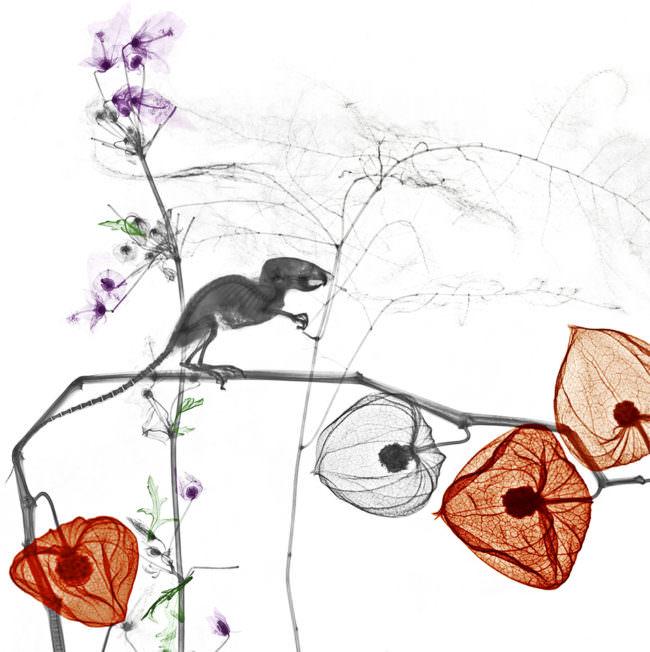 Maus auf Physaliszweig.