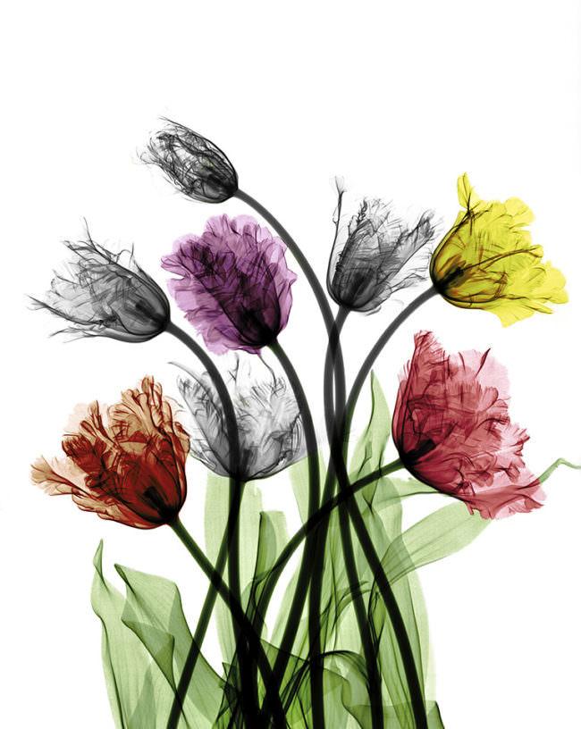 Bunte Tulpen.