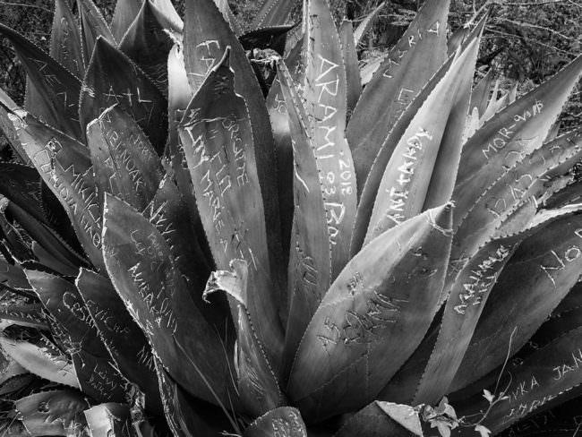 Pflanze mit Einritzungen in den Blättern.
