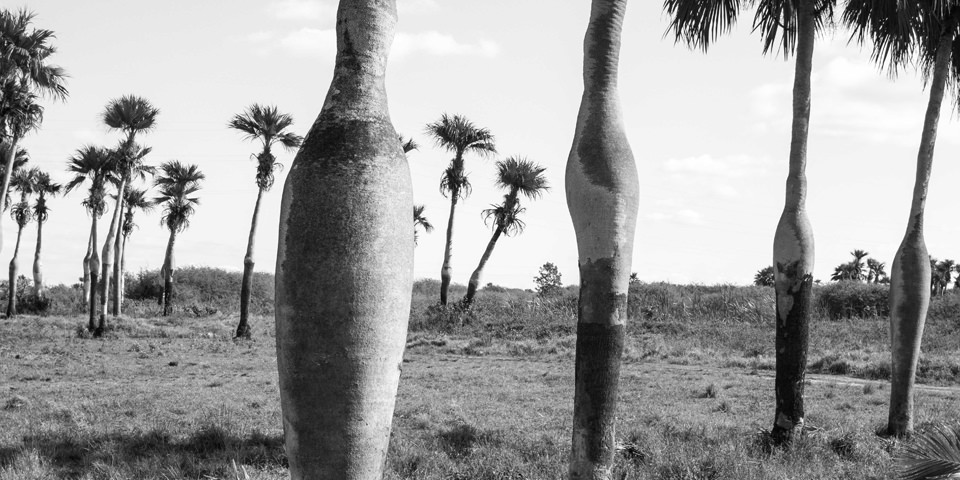Palmbäume auf einer Wiese.