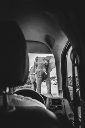Elefant vor einem Auto