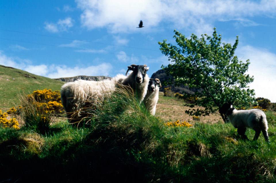 Schafe und ein Rabe