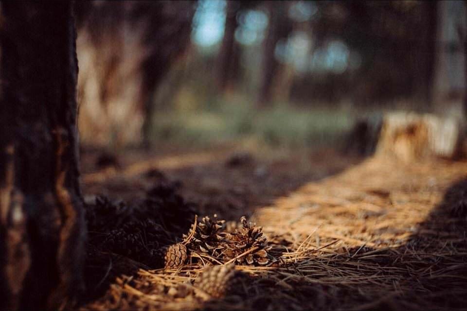 Tannenzapfen auf Waldboden