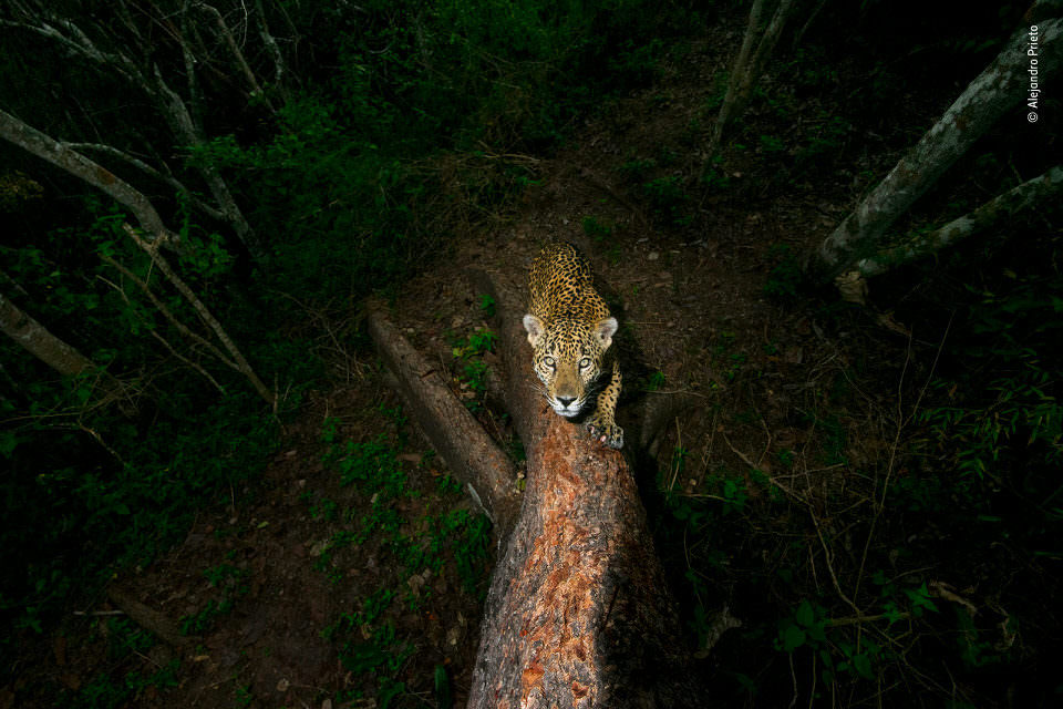 Jaguar an einem Baum