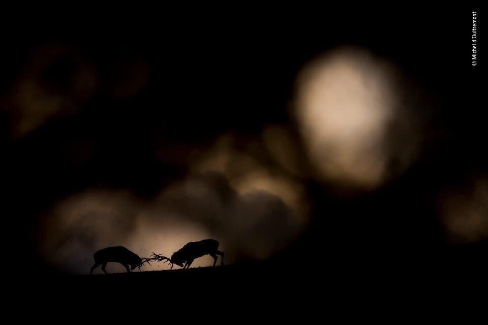 Zwei Hirsche kämpfen