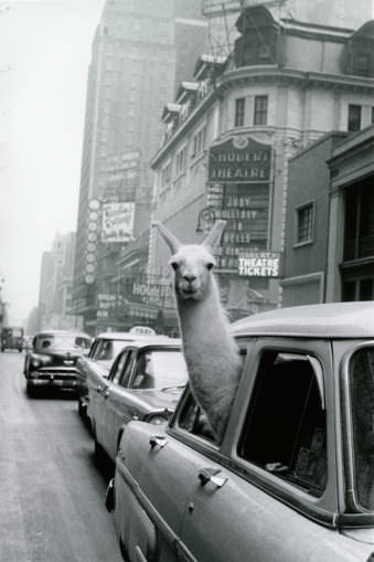 Lama schaut aus einem Autofenster