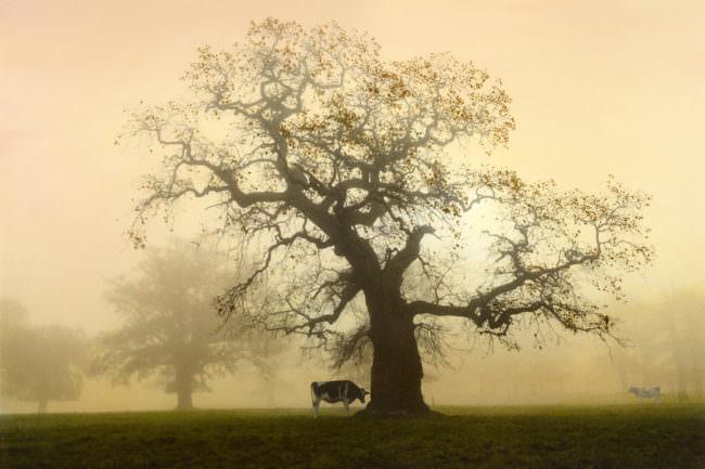 Kühe an einem großen Baum