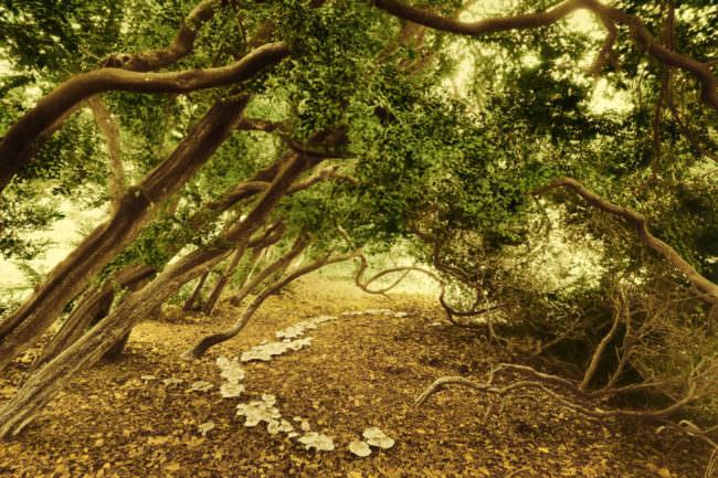 Buchsbaum-Reihe