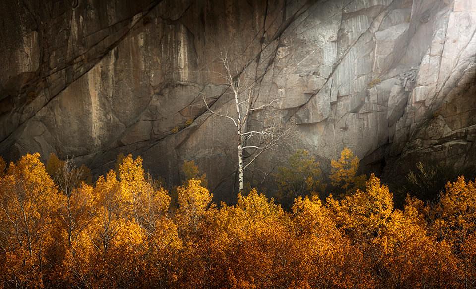 Birke vor einem Felsen