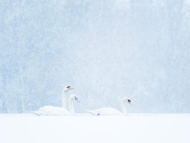 Schwäne im Schnee