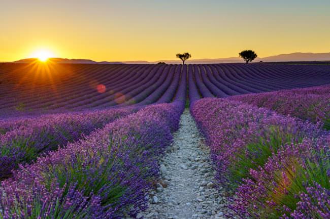 Sonnenuntergang über einem Lavendelfeld