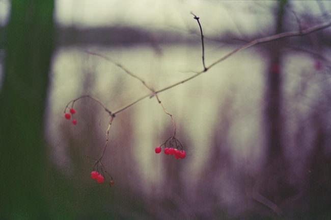 rote Beeren an einem Strauch im Winter