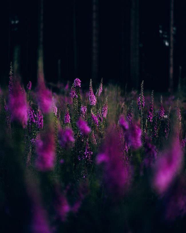 pinke Blütenstände