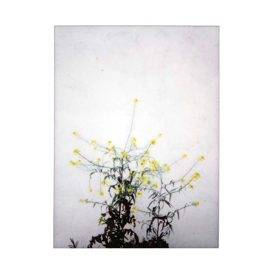 Polaroidaufnahme einer gelb blühenden Pflanze vor weißer Wand