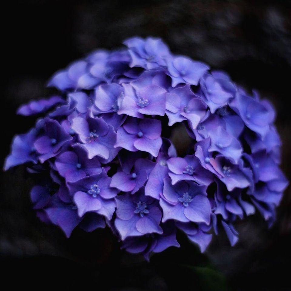 Blütenstand einer blauen Hortensie