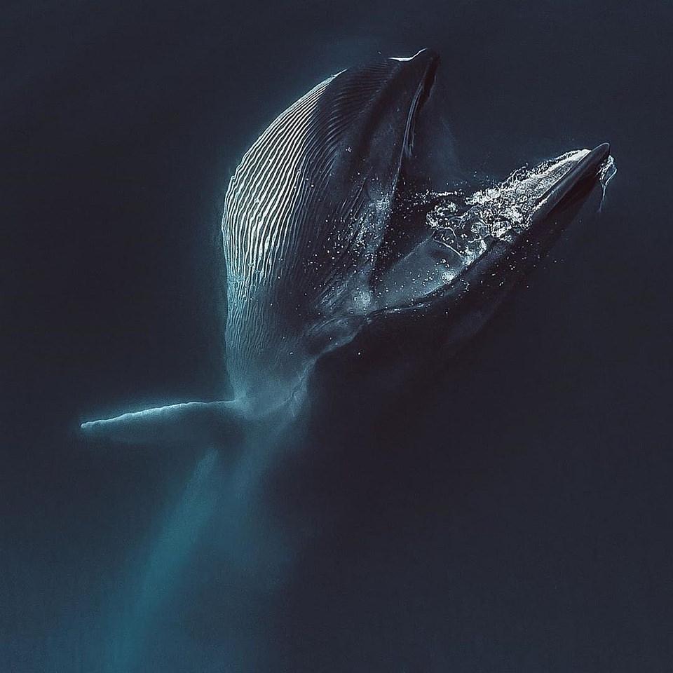 aus der Wasseroberfläche auftauchender Wal
