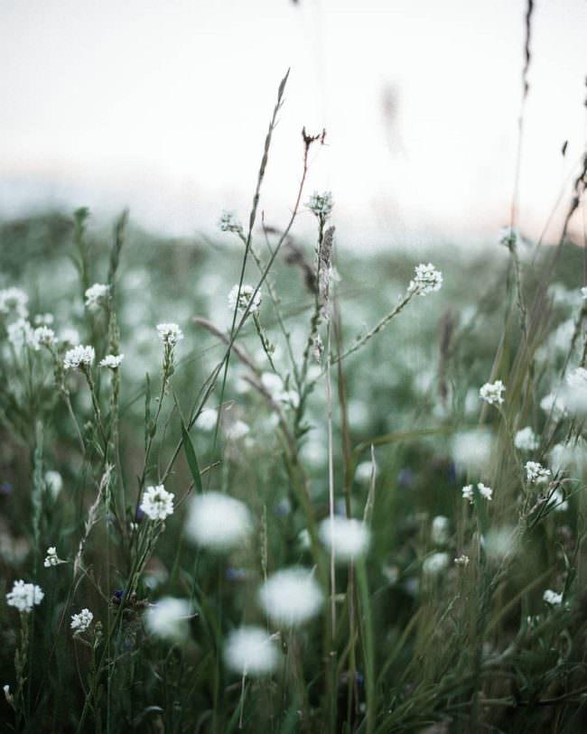 wilde Blumenwiese mit weißen Blüten