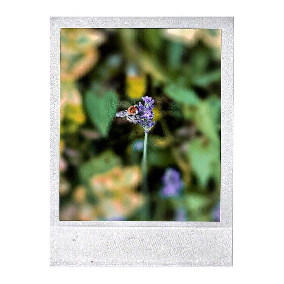 Polaroidaufnahme einer Biene an einer Lavendelblüte