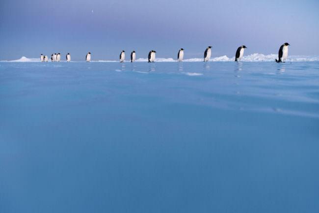 Pinguine laufen in Reihe