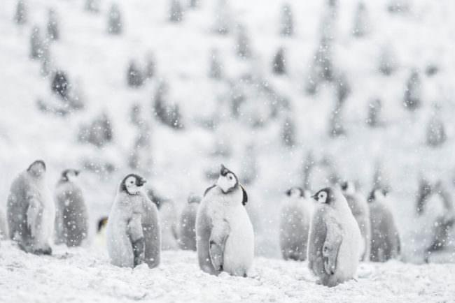 Pinguine im Schnee