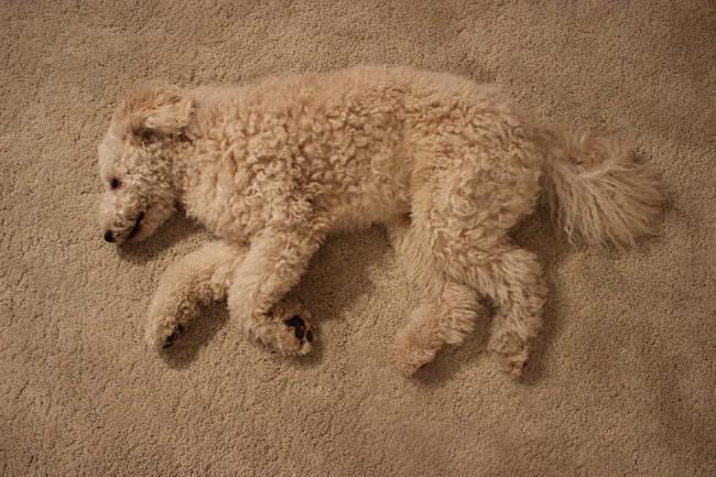 Hund liegt auf einem Teppich