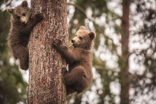 Zwei Bärenjunge auf einem Baum