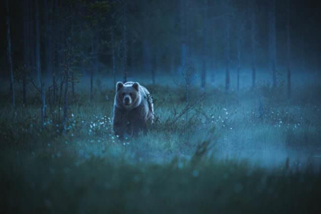 Bär im nebligen Wald