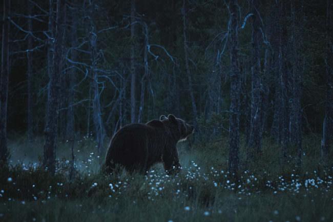 Bär im dunklen Wald