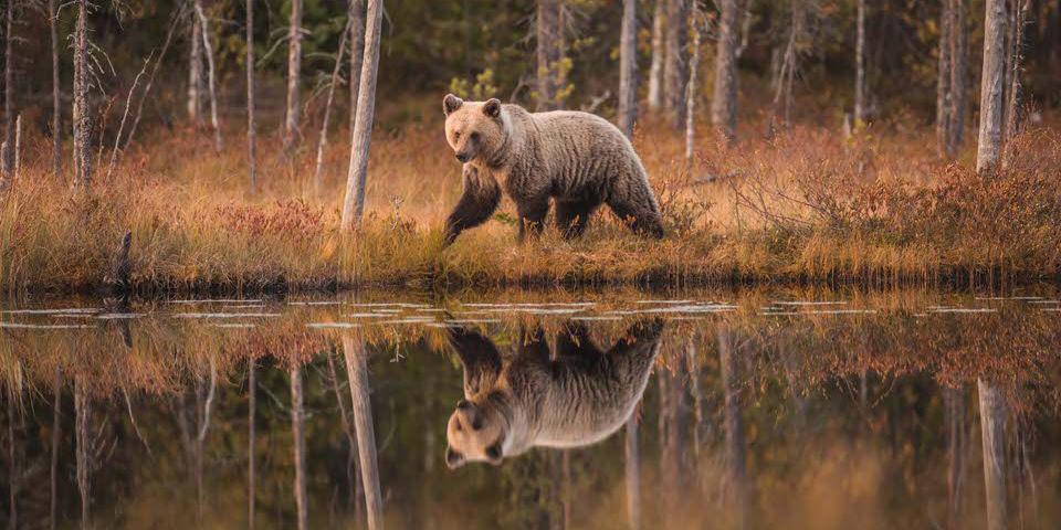 Könige der Taiga: Finnlands Europäische Braunbären - kwerfeldein – Magazin für Fotografie